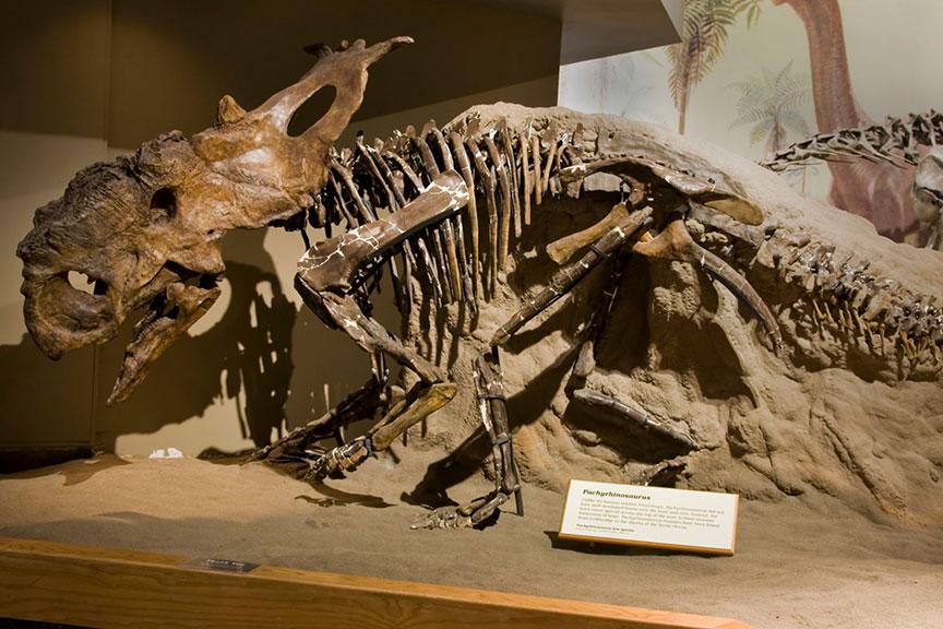 Pachyrhinosaurus lakusta