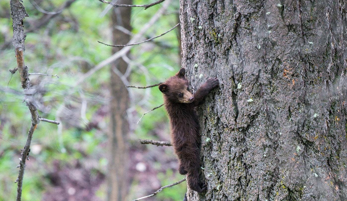 bears climbing tree