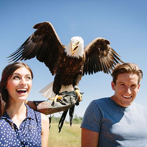 Águila calva en Alberta Birds of Prey Visitors Centre, Coaldale