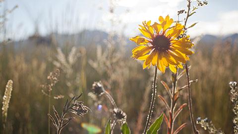 Wildflower Southern Alberta